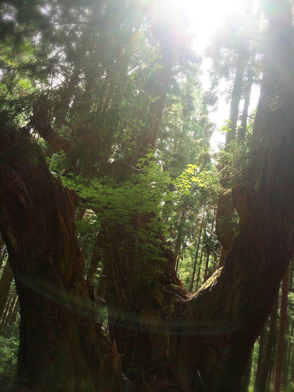 株杉の森の巨大株杉