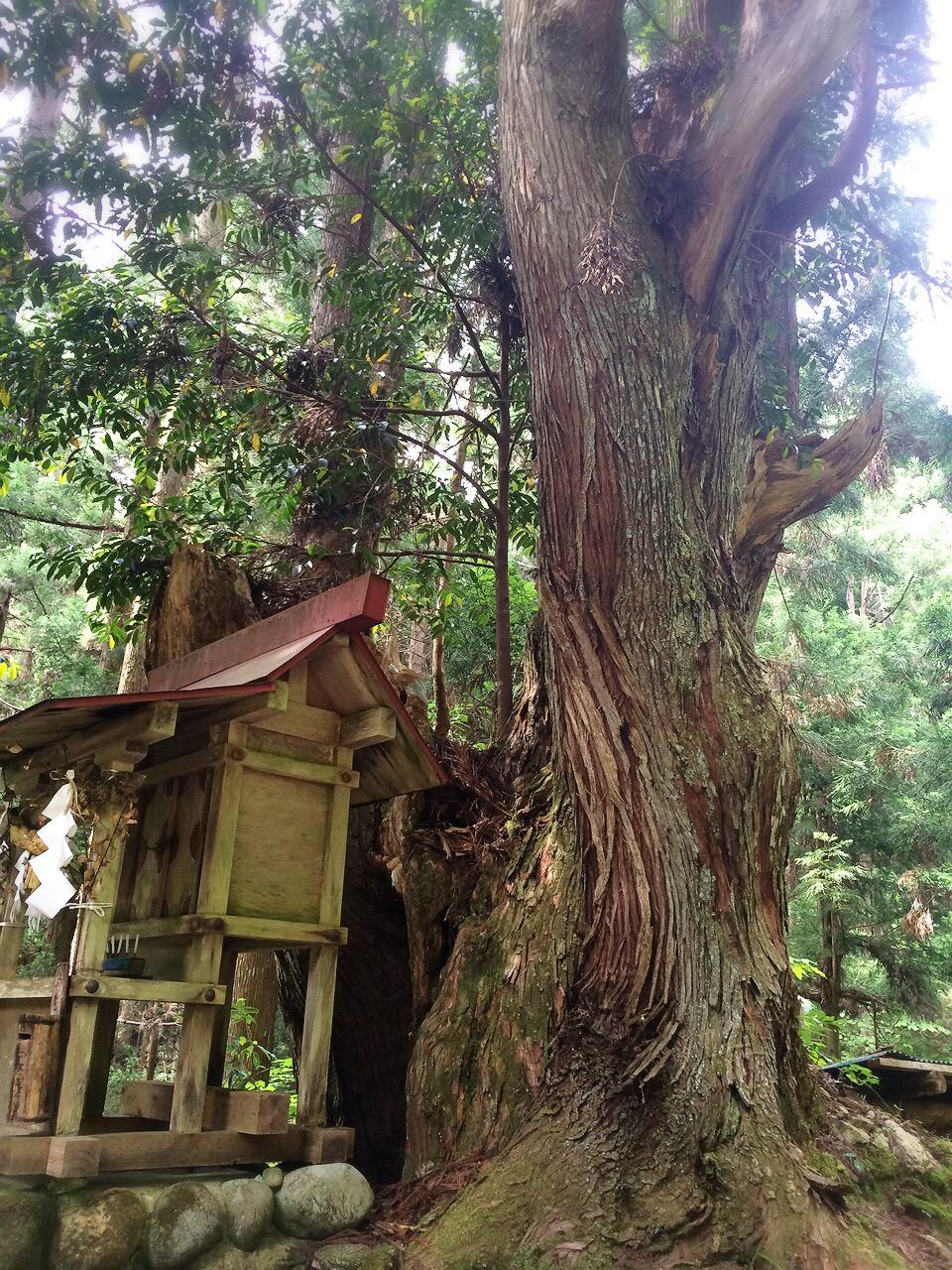 株杉の森の巨大な株杉